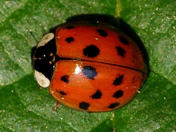 coccinellidae ladybirds. Black Bedroom Furniture Sets. Home Design Ideas
