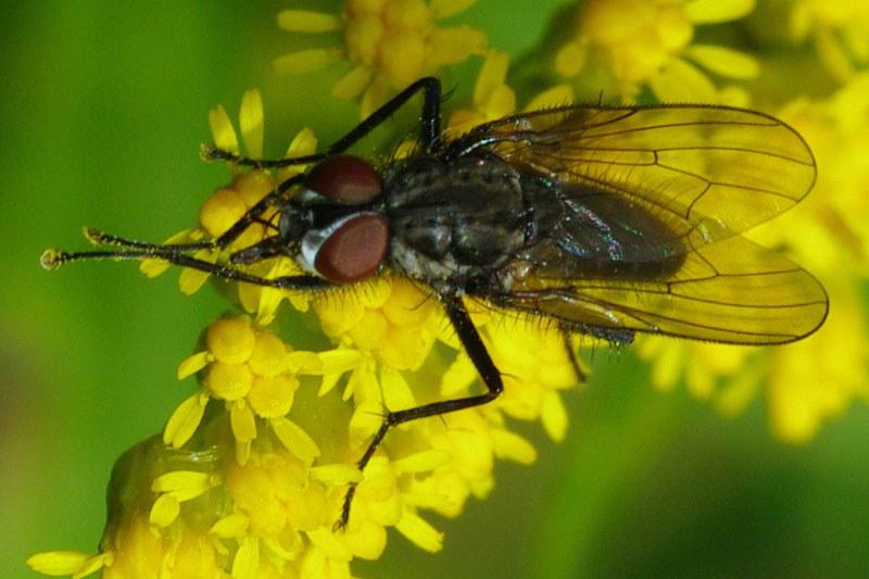 brachycera fliegen