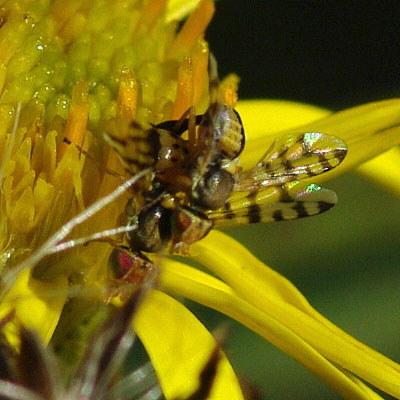 Tephritidae fruchtfliegen bohrfliegen for Fruchtfliegen pflanzen
