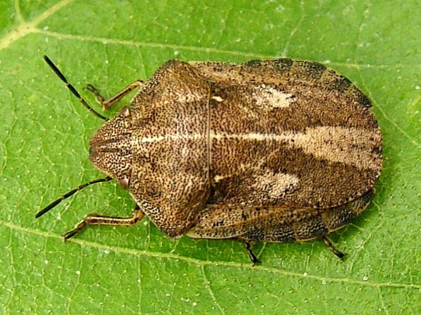 Scutelleridae - Jewel bugs, shield-backed bugs - Overview ...