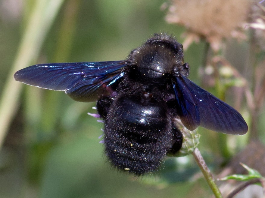 черные пчелы древесные фото тесто для