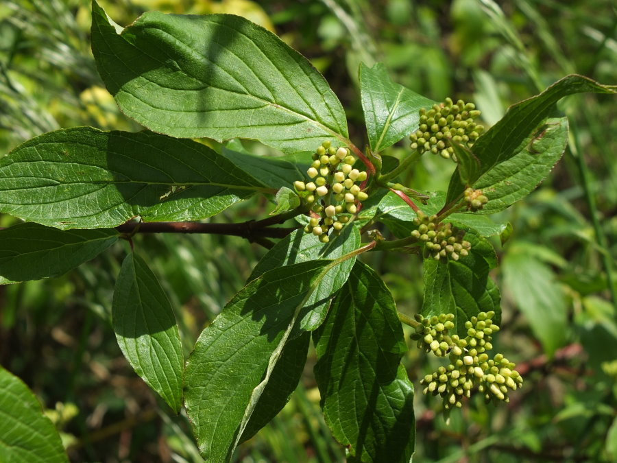 Seidiger Hartriegel plantae plants cornaceae arthropodafotos de