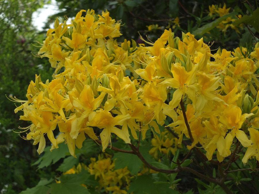 rhododendron luteum gelbe azalee. Black Bedroom Furniture Sets. Home Design Ideas