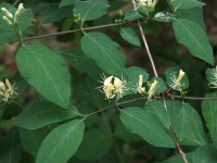 Lonicera xylosteum  1116