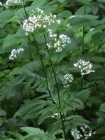 Valeriana officinalis agg.