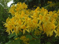 Rhododendron luteum  1738