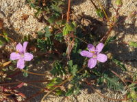 Erodium sp.