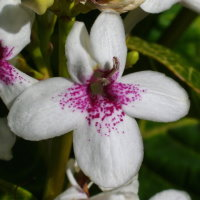 Pseuderanthemum sp.