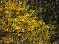 Forsythia × intermedia
