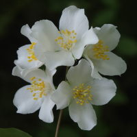 Philadelphus sp.