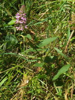 Stachys palustris  592