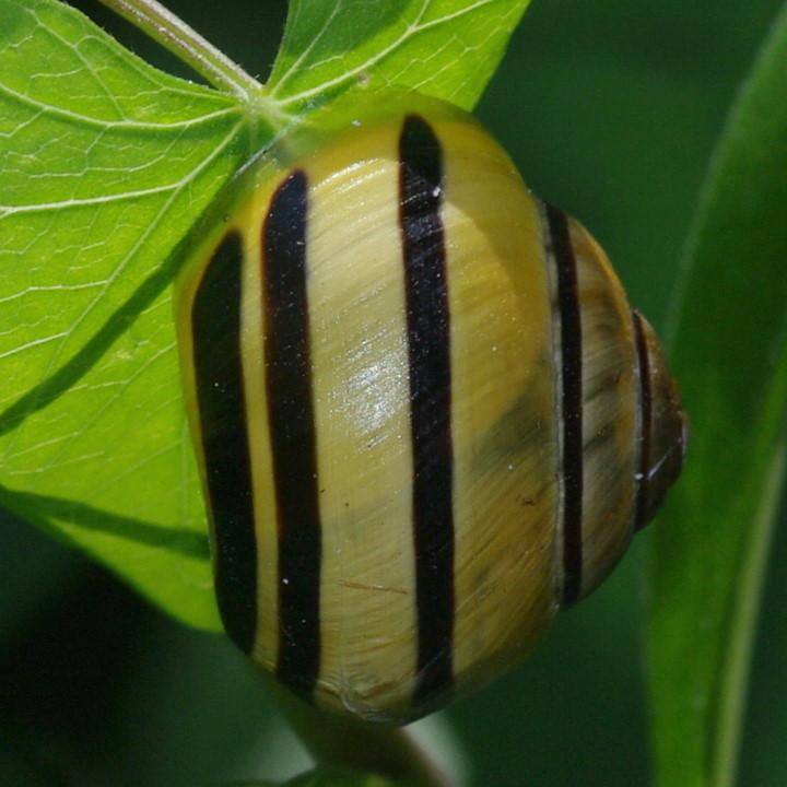 Cepaea Hortensis White Lipped Snail Arthropodafotosde