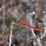 Sympetrum fonscolombii, male  1109