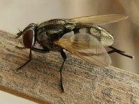 Musca sp.  1187