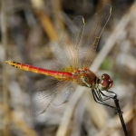 Sympetrum fonscolombii, male  1191