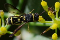 Leucospis sp., male  2163