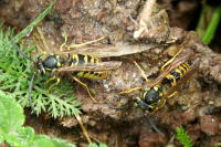 Vespula germanica, am Nesteingang  2264