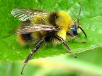 Bombus pratorum, male  2484