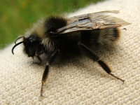 Bombus cf. sylvestris, male  2556