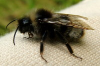 Bombus cf. sylvestris, male  2557