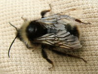 Bombus cf. sylvestris, male  2558