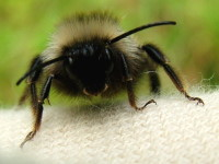 Bombus cf. sylvestris, male  2559