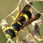 Ancistrocerus kitcheneri  2601