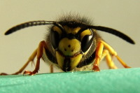 Vespula germanica, Königin  2644