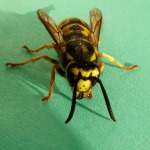 Vespula germanica, Königin  2648