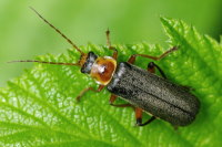 Cantharis cf. nigricans  2921