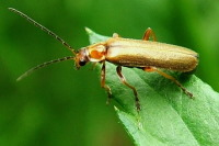 Cantharis sp.  3089