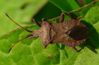 Coreus marginatus  3196
