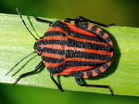 Graphosoma lineatum  3231