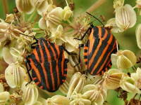 Graphosoma lineatum  3290