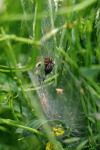 Agelena labyrinthica  3608