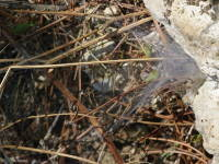 Agelena labyrinthica  3673
