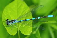 Coenagrion hastulatum  4307