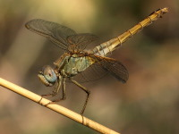 Crocothemis erythraea, female  4332