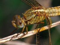 Crocothemis erythraea, female  4333