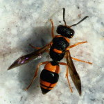 Ancistrocerus kerneri  4483