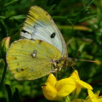 Colias sp., female  5079