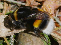 Bombus terrestris, queen  5137