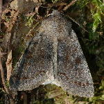 Orthosia incerta  5159