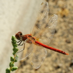Sympetrum fonscolombii, male  52