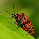 Graphosoma lineatum  5419