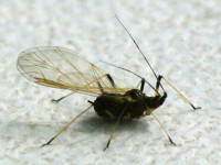 Aphididae sp.