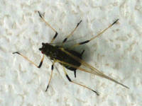 Aphididae sp.  5676