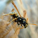 Polistes gallicus s. l., female  5935