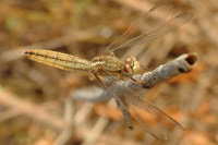 Crocothemis erythraea, female  59