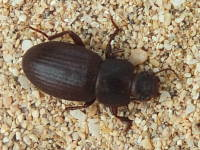 Tenebrionidae sp. (8 mm)  6618